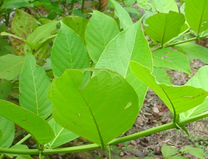 キャッツクローの葉とトゲ