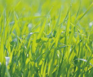 大麦若葉の葉